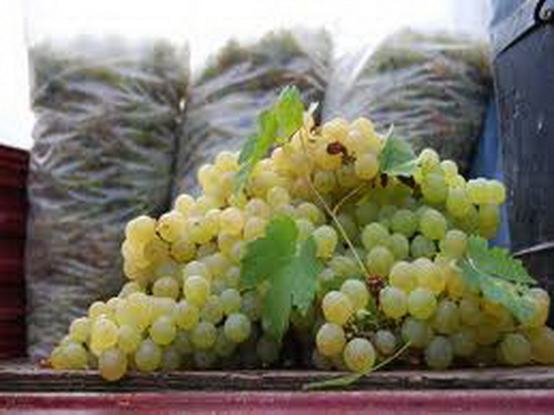 Vizualizati imaginile din articolul: Vânzarea de struguri pentru vin – numai în două pieţe din municipiu!