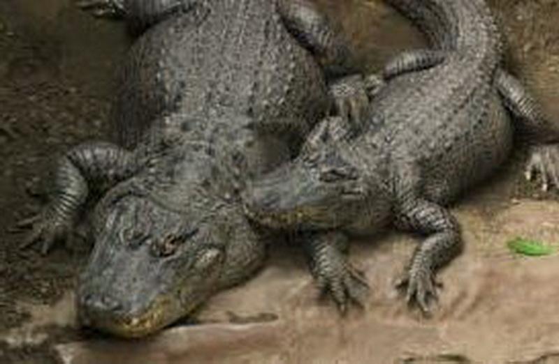 Vizualizati imaginile din articolul: Vigyázat, krokodilusok a városban!