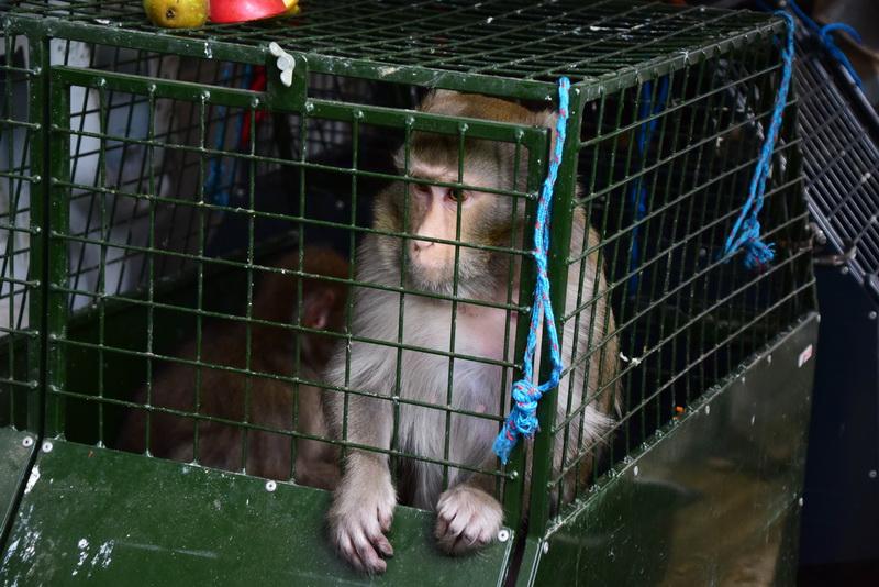Vizualizati imaginile din articolul: Cinci exemplare noi au ajuns la Grădina Zoologică din Târgu Mureș: trei maimuțe din specia macac japonez și doi coati! Animalele, confiscate de la o persoană fizică, pot fi admirate deja de vizitatori.