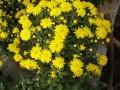 Expoziţie de crizanteme în Piaţa Trandafirilor