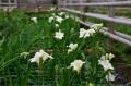 Freziile și garoafele prind culoare în sera de flori administrată de Primăria Târgu Mureș