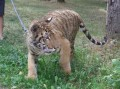 Bengal tiger at Tîrgu-Mureş Zoo (this article is available in Romanian and Hungarian language only)
